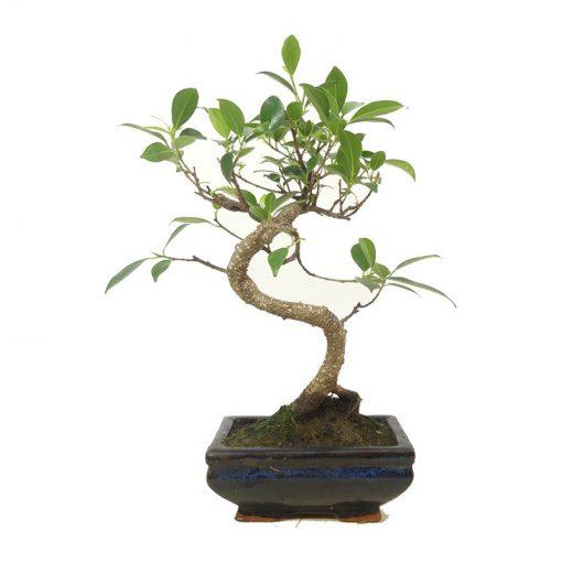 Feigenbaum | Ein Hochzeitsbaum von Hochzeitsbaeume.de