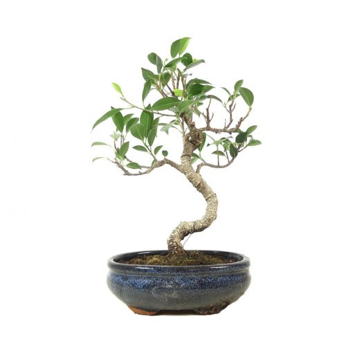 Chin. Feigenbaum | Ein Hochzeitsbaum von Hochzeitsbaeume.de