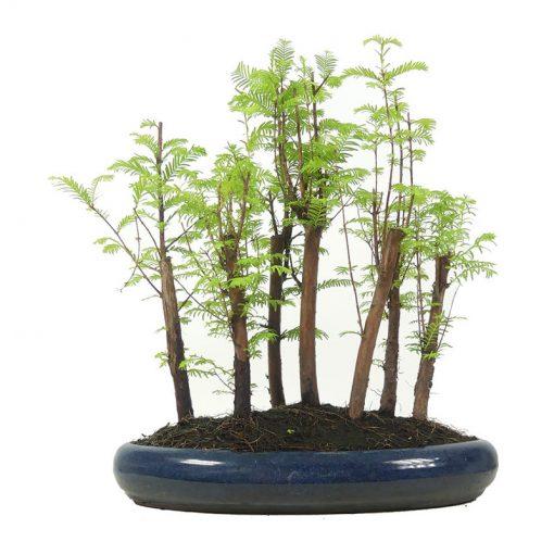 Urweltmammutbaum | Ein Hochzeitsbaum von Hochzeitsbaeume.de