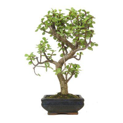Jadebaum | Ein Hochzeitsbaum von Hochzeitsbaeume.de