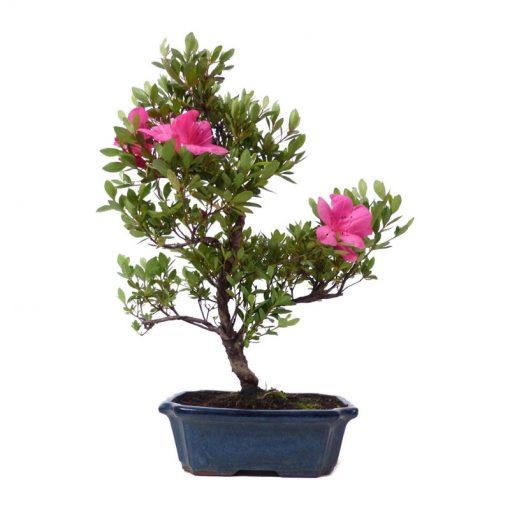 Japanische Azalee | Ein Hochzeitsbaum von Hochzeitsbaeume.de