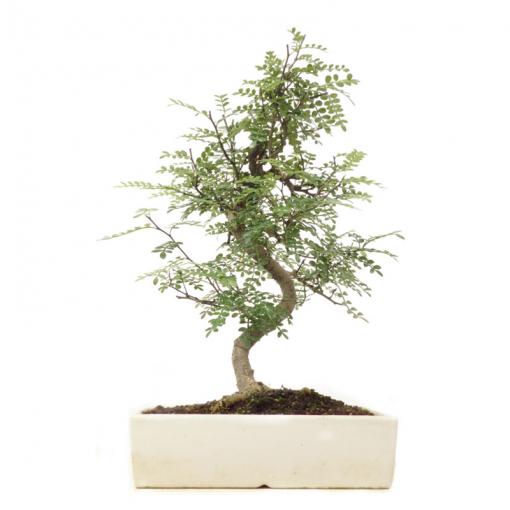 Pfefferbaum | Ein Hochzeitsbaum von Hochzeitsbaeume.de