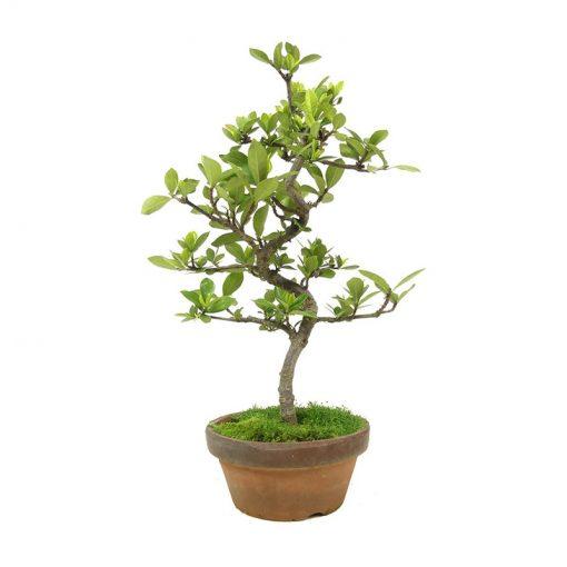 Gardenie als Hochzeitsbaum