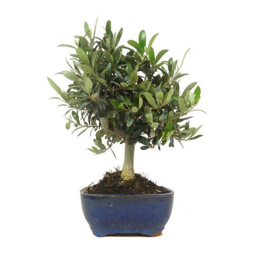 Olivenbaum | Ein Hochzeitsbaum von Hochzeitsbaeume.de