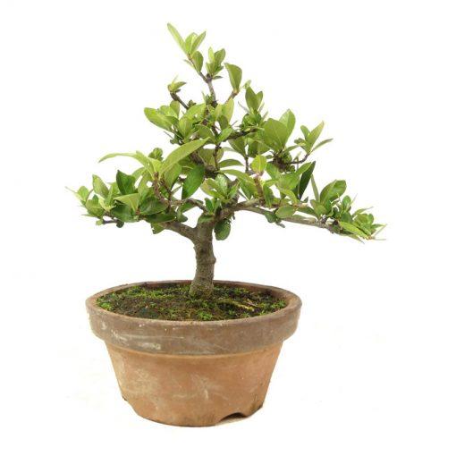 Gardenia | Ein Hochzeitsbaum von Hochzeitsbaeume.de