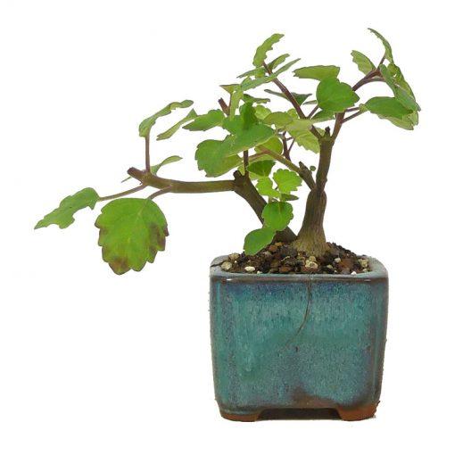 Weihrauchpflanze | Ein Hochzeitsbaum von Hochzeitsbaeume.de